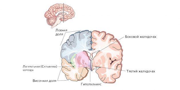 Желудочки мозга. Скопление жидкости в них приводит к гидроцефалии