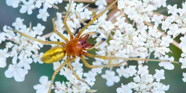 Желтосумный паук