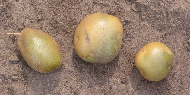 Вредные продукты: незрелый картофель