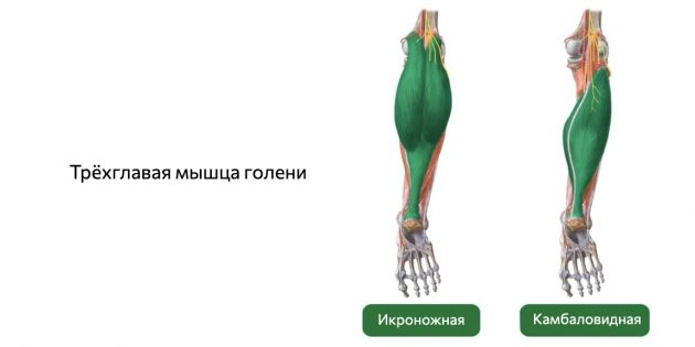 Как накачать икры: Трёхглавая мышца голени