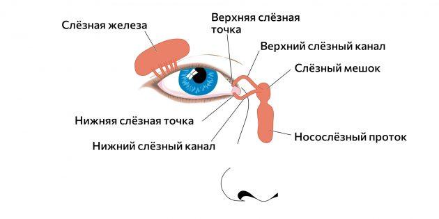 Слёзные железы и протоки
