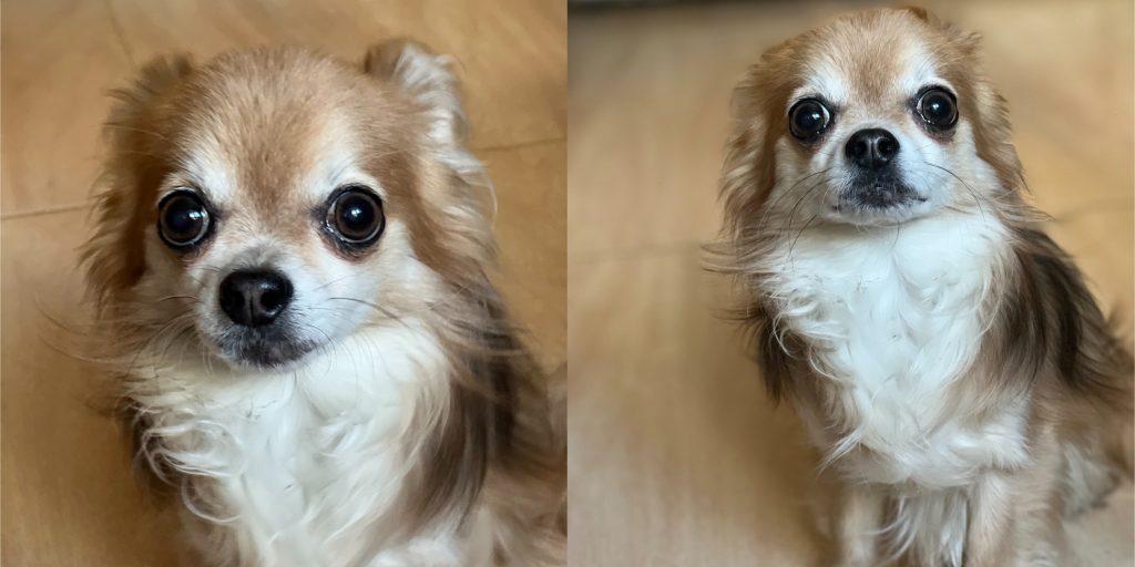 Фото собаки в портретном режиме камерой iPhone 13Pro с телеобъективом